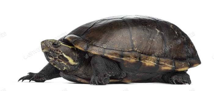 Female striped mud turtle (4 years old), Kinosternon baurii, in front of a white background