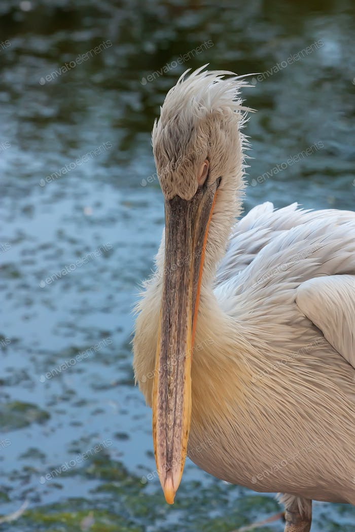 Dalmatian pelican or Pelecanus crispus