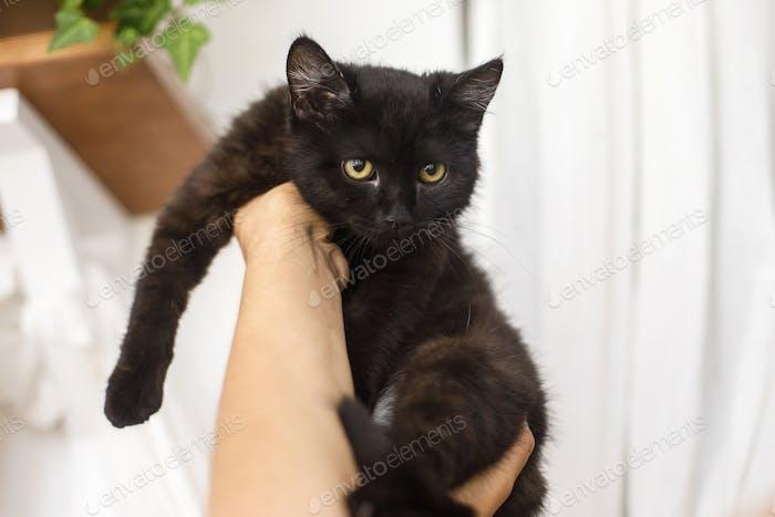 Black kitten in female hands on background of white room
