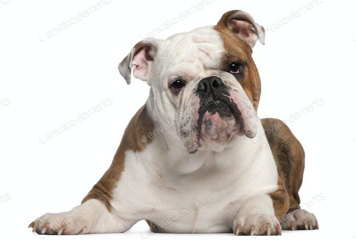 French Bulldog, 18 Monate alt, vor weißem Hintergrund