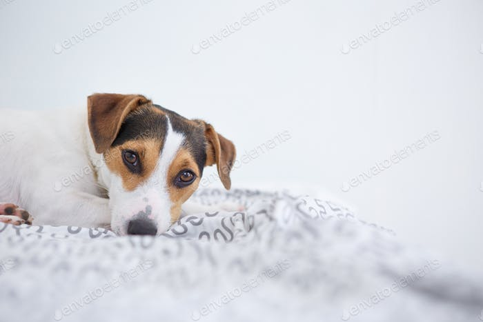 Cute pet dog lying on bed