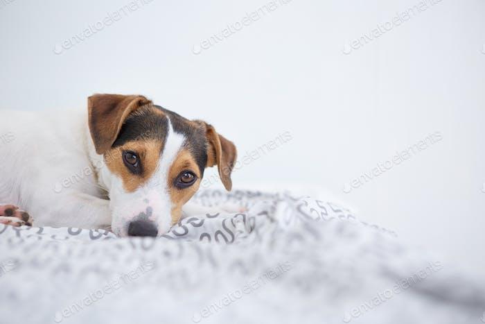 Niedlicher Hund liegend auf dem Bett