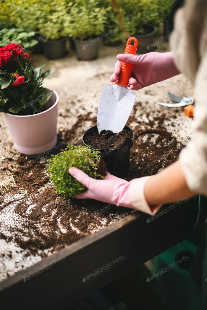 Photo of woman hands in pink gloves using little garden shovel while planting flowers in pots