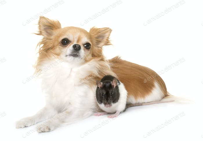 domestic rat and chihuahua