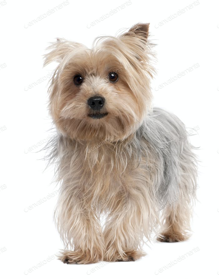 Yorkshire Terrier (3 years old)