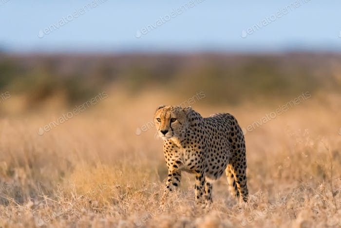 Cheetah male walking and looking for prey
