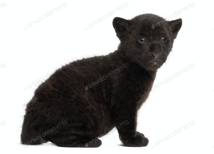 Jaguar cub, 2 months old, Panthera onca, sitting against white background