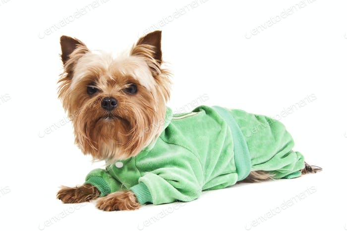 Yorkshire Terrier in sweater