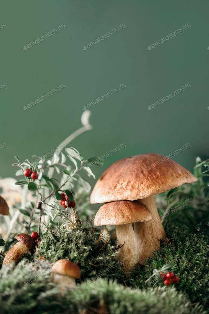 Fresh porcini mushroom in green moss. Autumn harvest concept. Boletus edulis, cep mushrooms. Copy