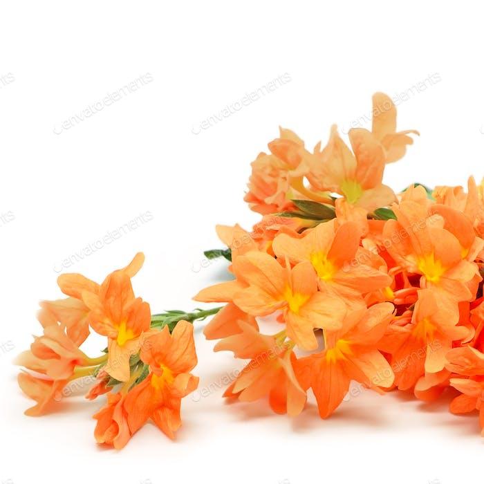 Feuerwerkskörper Blume