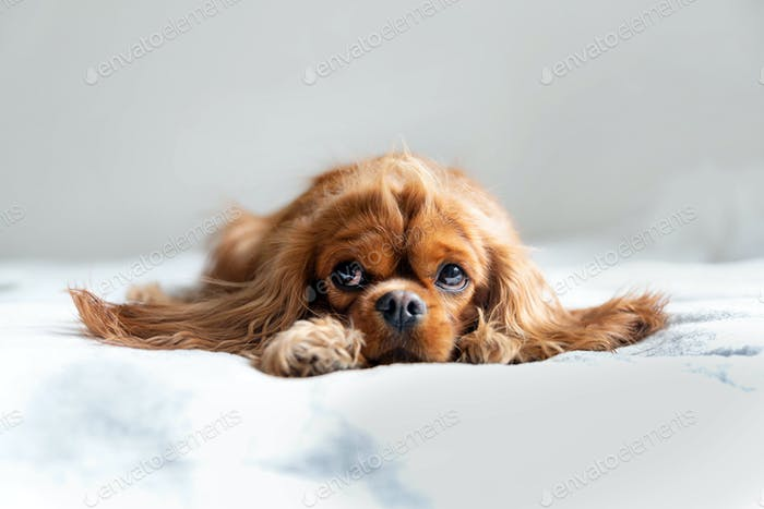 Adorable cavalier spaniel relaxing on white blanket