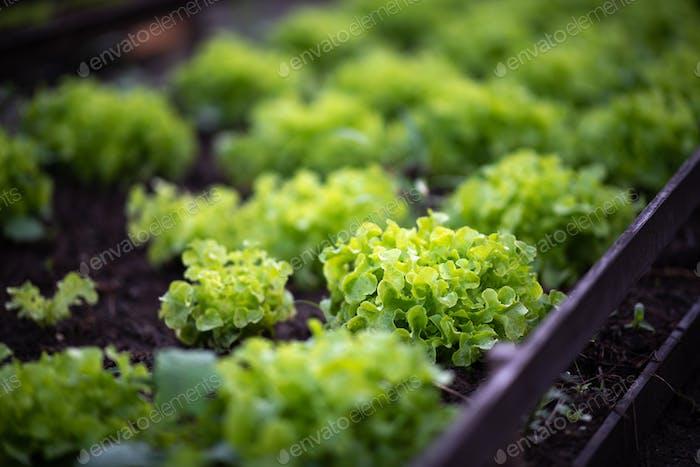 Morning organic vegetable salad plots