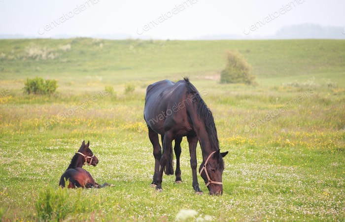 horse with foal on summer pasture