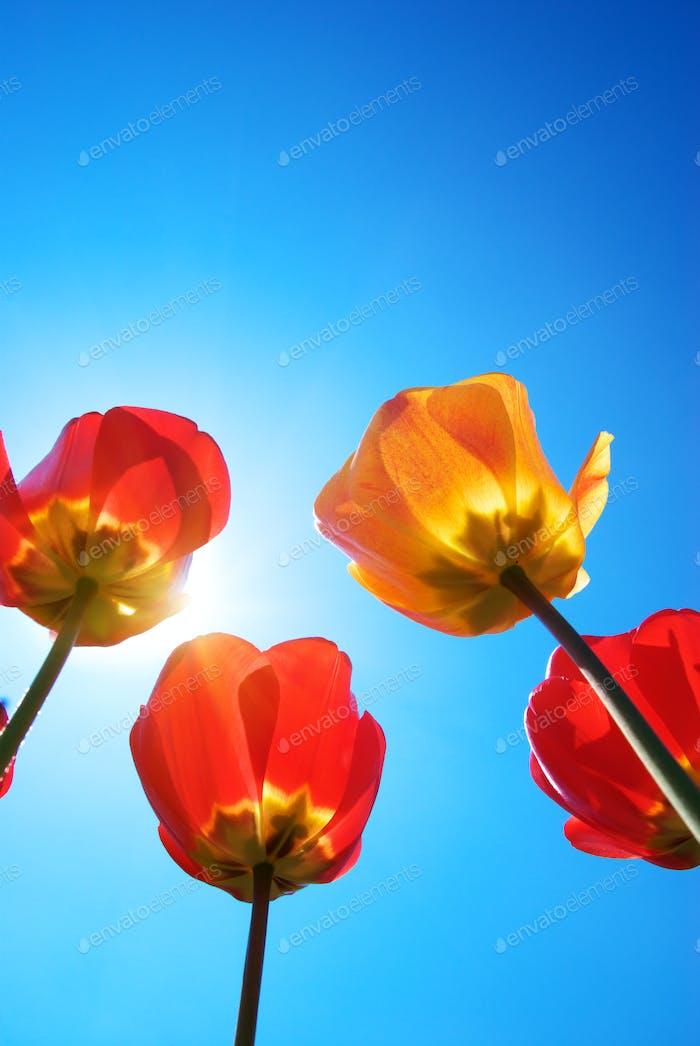 Tulips and deep blue sky
