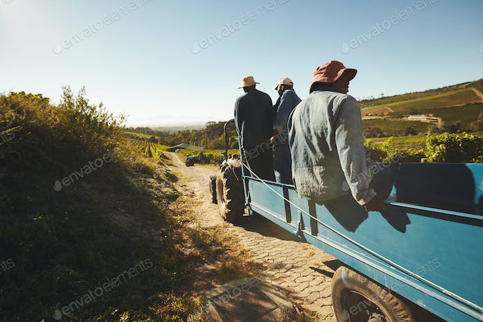 Vineyard workers transporting grapes to wine factory