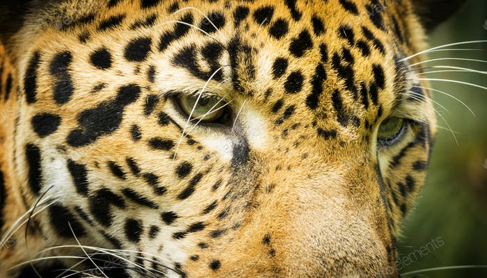 Jaguar Cat Eyes