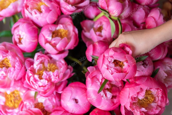 Woman hand picks up pink peonies