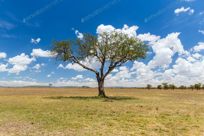 acacia arbre dans la savane en afrique