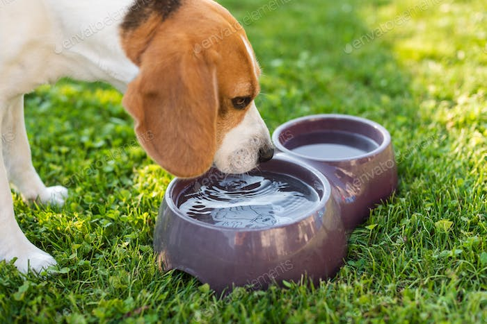 Beagle dog drinking water to cool off in shade on grass hiding from summer sun