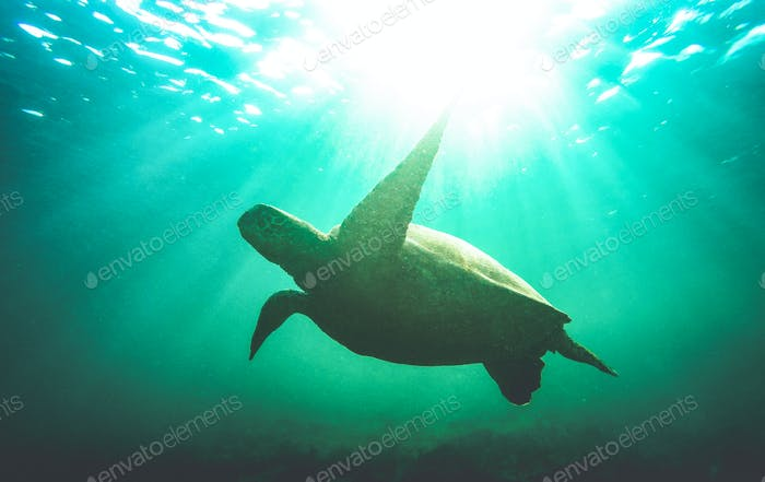 Silhouette of sea turtle swimming underwater in Galapagos national park