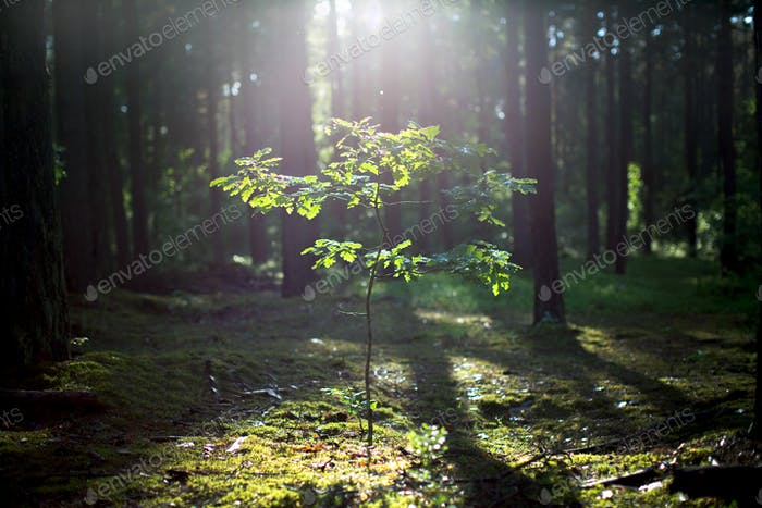 Young oak tree growing in the forest