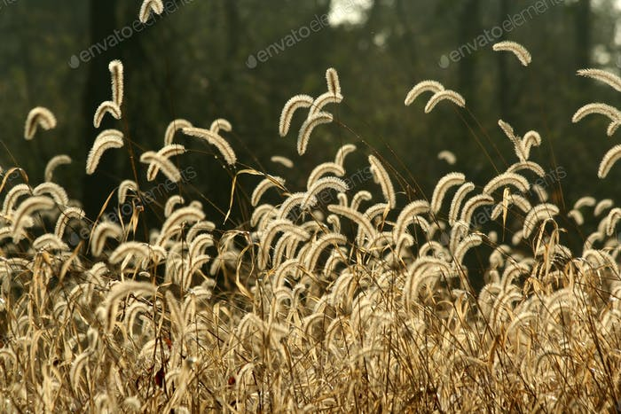 Foxtail weeds