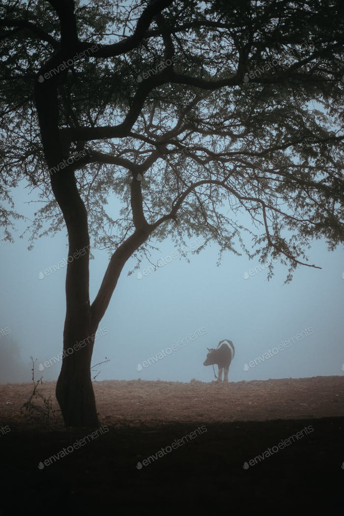 Tree and silhoutte lone cow silhouette in the fog
