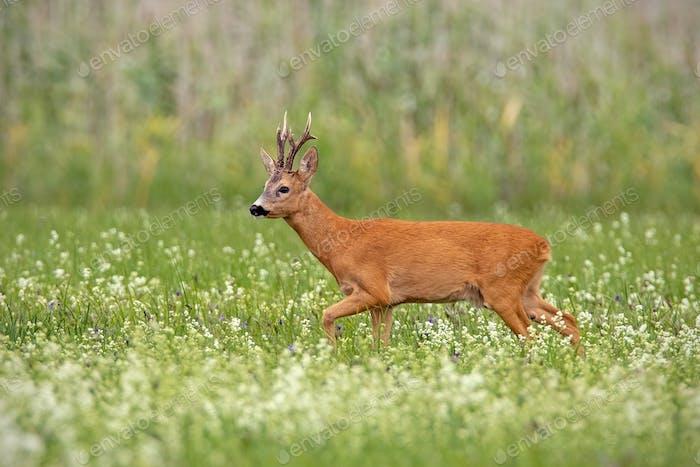 Roe deer buck with dark antlers walking on a meadow with wildflowers in summer