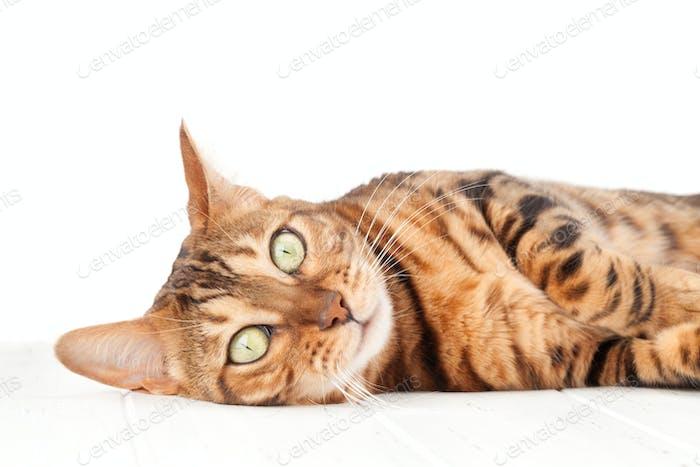 Bengalkatze auf weißem Holzboden liegend