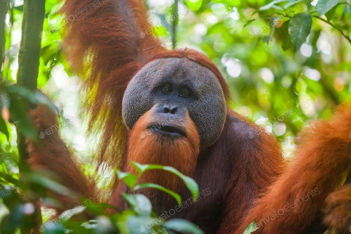 Portrait of male Sumatran orangutan Pongo abelii in Gunung Leuser National Park, Sumatra, Indonesia