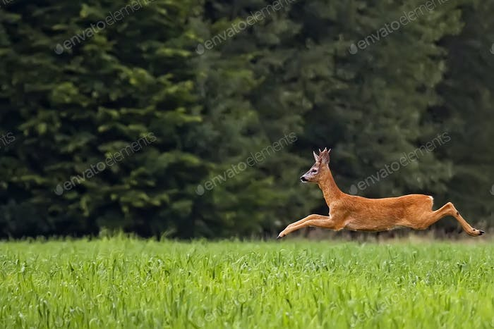 Buck deer in the run