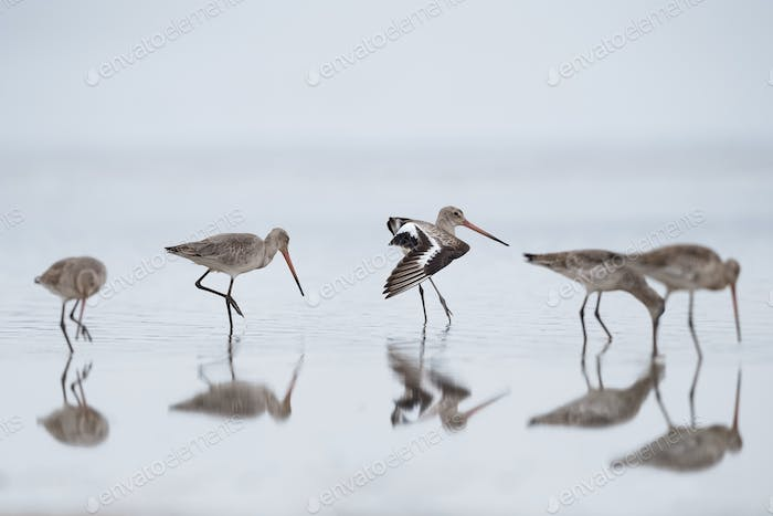 black tailed godwit flock in water, Limosa limosa