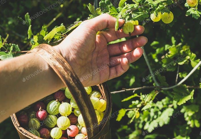 Man's hand picking and putting ripe gooseberies to birchbark basket full of berries in garden