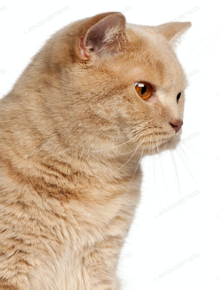 Ginger British Shorthair cat, 1 year old, headshot in front of white background