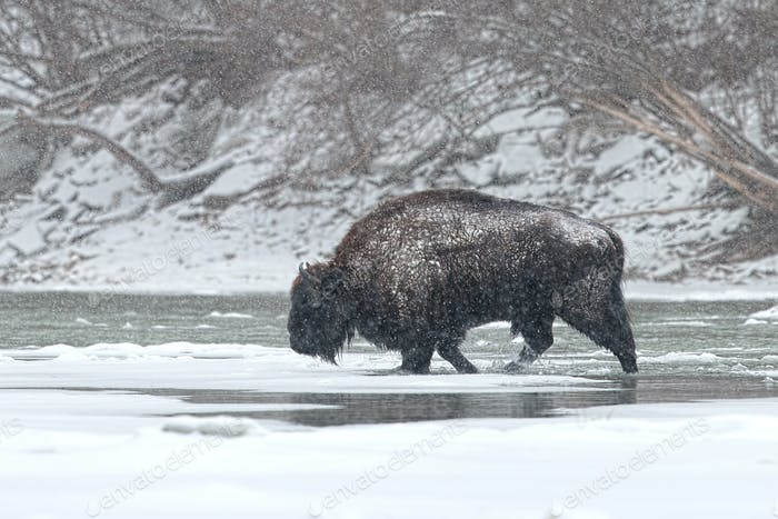 Wild male european bison crossing river in winter with snow falling around