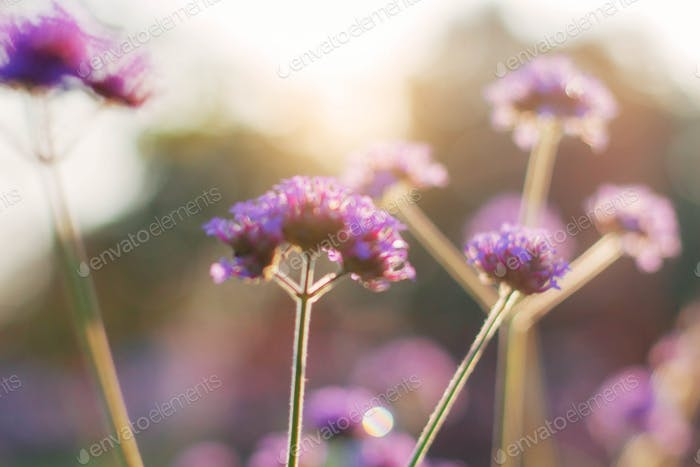 Purple flowers at sunlight