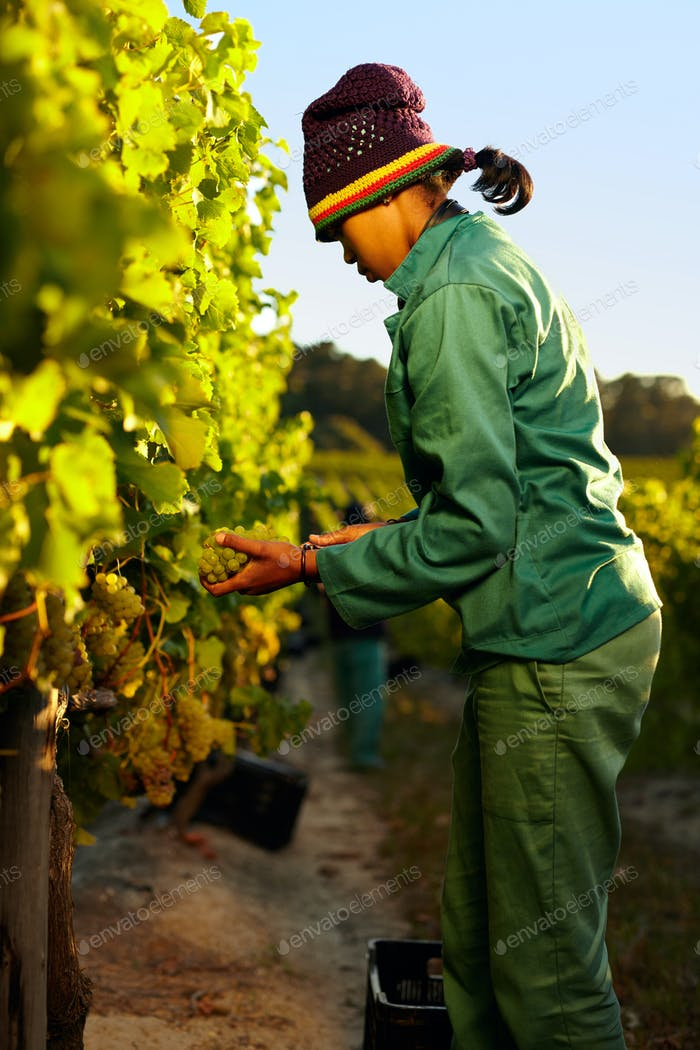 Worker harvesting grapes from vine