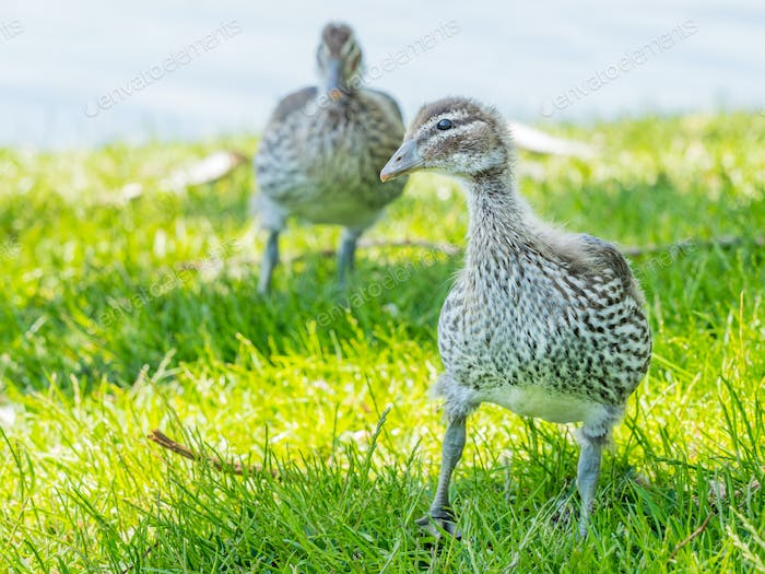 Australian Wood Duck Ducklings
