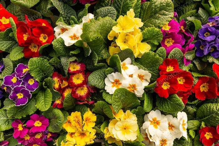 Colourful Primula vulgaris or primrose