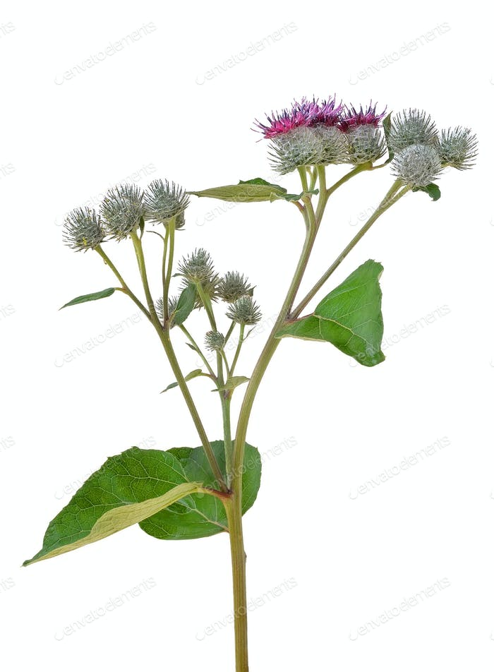 Great Burdock (Arctium lappa)