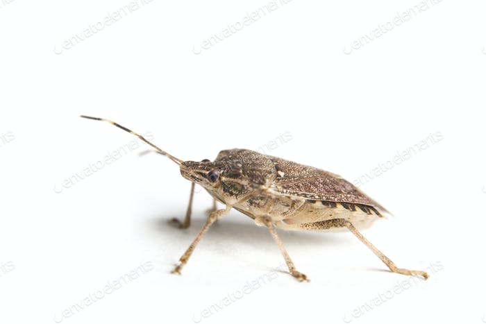 Isolated living brown marmorated stink bug2