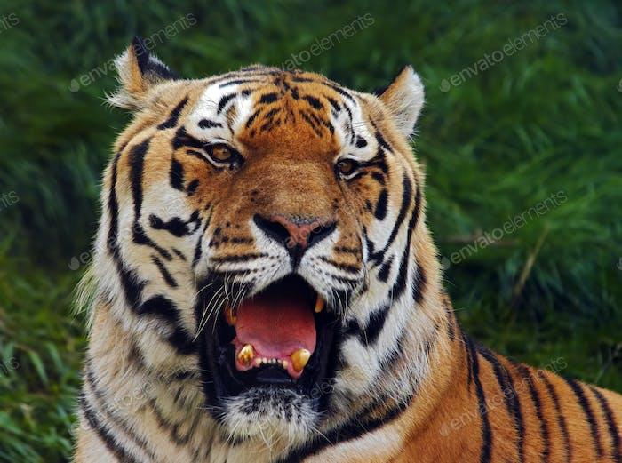Old Siberian tiger