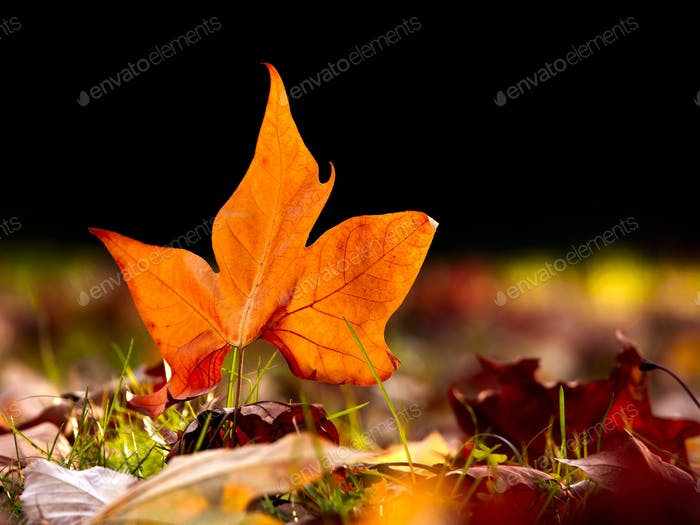 Close-up of  a beautiful autumn leaf on the floor