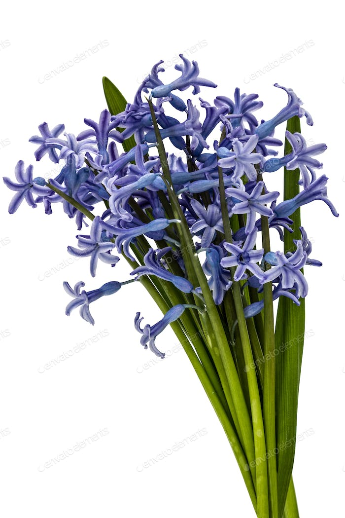 Bouquet of flowers of hyacinth, isolated on white background