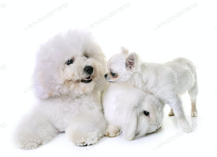 bichon frise, chihuahua and bunny