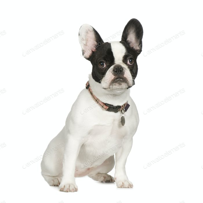 French Bulldog (8 months)