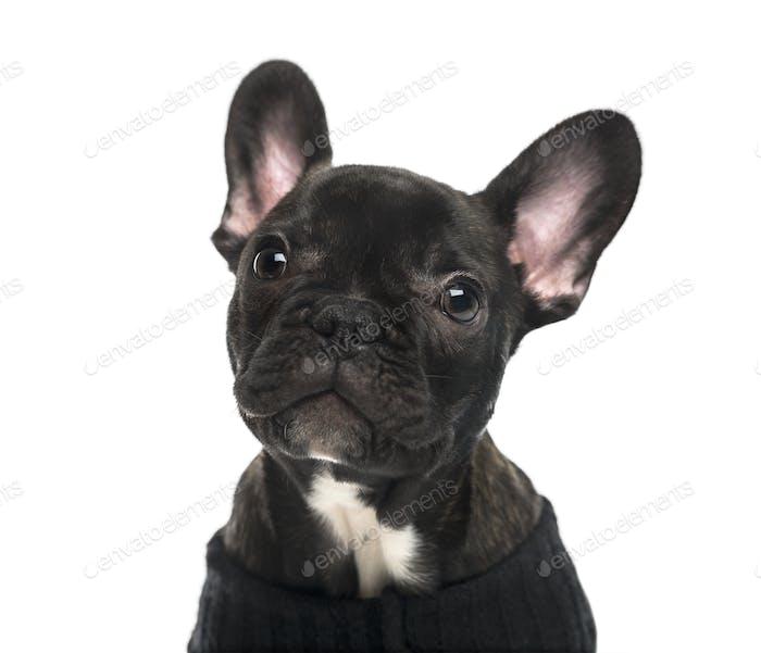 Nahaufnahme einer Französisch Bulldogge