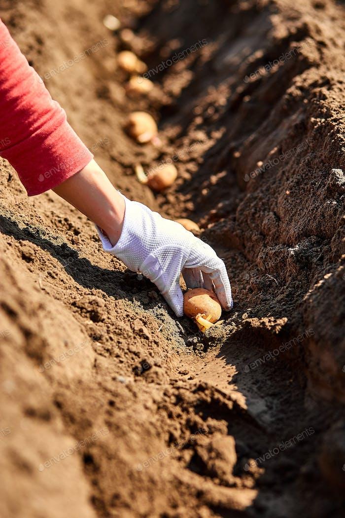 Woman hand planting potato tubers into the ground.