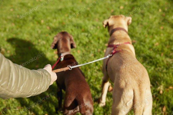 Andador de perros con dos perros en las correas