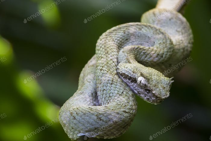 Eyelash Viper Curled on a Branch in Costa Rica